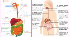 Hay dos tipos de digestión una mecánica y la otra química, la mecánica empieza en la boca mediante la masticación junto con la salivación y termina con los batimientos del estomago