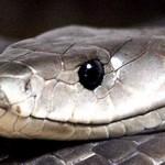 Veneno serpiente para el dolor